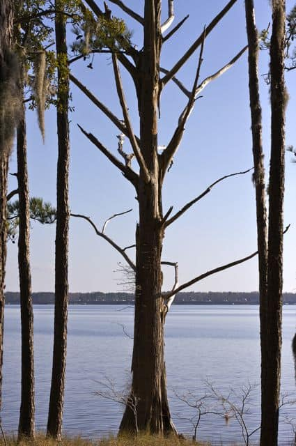 Tree on the Pamlico